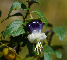 Load image into Gallery viewer, Jaltomata ventricosa Sogorome Bush 25 Seeds #Fruit