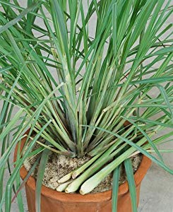 Cymbopogon Flexuosus Mosquito Repelling Lemon Grass Plant 100 Seeds #Ornamental