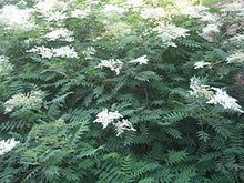 Load image into Gallery viewer, Sorbaria sorbifolia False Spirea Shrub 50 Seeds #Ornamental