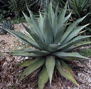 10 Seeds Agave avellanidens Ornamental Plant