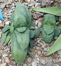 Load image into Gallery viewer, 10 Seeds Gasteria nitida var. armstrongii Air Purification Plant #Succulent
