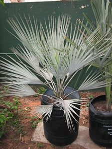 Brahea sp. (Super Silver) Silver Rock Palm 12 Seeds #House Plant