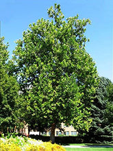 Load image into Gallery viewer, 15 Seeds American Sycamore Tree  (Platanus occidentalis) #Tree
