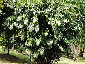 10 Seeds Bactris Guineensis Coyolito Palm #Ornamental