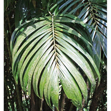 Load image into Gallery viewer, 10 Seeds Bactris Guineensis Coyolito Palm #Ornamental