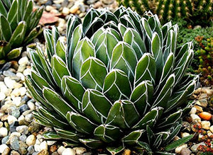 Agave Queen Victoriae-Reginae Indoor Ornamental 15 Seeds #House Plant