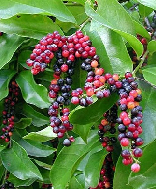 Antidesma bunius Bignay Salamander Fruit Tree 25 Seeds #Fruit