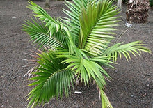 Load image into Gallery viewer, Heterospathe brevicaulis Dwarf Palm 10 Seeds #House Plant
