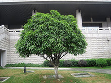 Load image into Gallery viewer, Osmanthus frangrans Tea Olive Tree 25 seeds #Tree