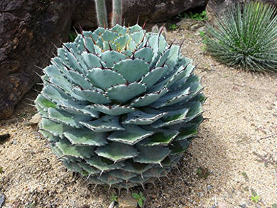 10 Seeds Agave potatorum Ornamental Plant #Agave