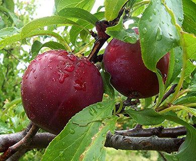 10 Seeds European Plum Fruit Tree (Prunus domestica) #Fruit
