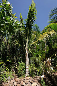 Dypsis nauseosa Highland Red Neck Palm 10 Seeds #House Plant