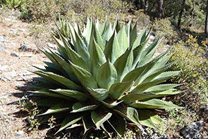 10 Seeds Agave gentryi Ornamental Plant #Agave
