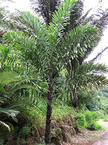 Wallichia disticha Distichous Fishtail Palm (SEEDS) #Ornamental