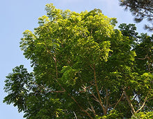 Load image into Gallery viewer, 10 Seeds Acrocarpus fraxinifolius Shingle Tree, Indian Ash #Tree