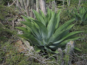 10 Seeds Agave vivipara Popular Ornamental Plant #Agave