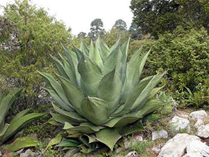 Agave salmiana subsp. crassispina Plant 25 Seeds #Succulent