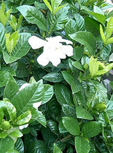Load image into Gallery viewer, Gardenia Jasminoides (Herbal Jasmine Plant) White Flowers 25 Seeds #Ornamental