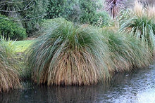 Load image into Gallery viewer, Carex secta Wetland Sedge Grass 50 Seeds #Ornamental