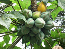 Load image into Gallery viewer, Carica Papaya Fruit Plant 35 Seeds #Fruit