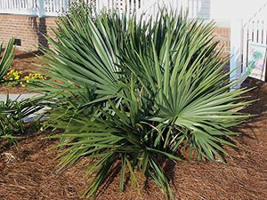Sabal Minor Dwarf Palmetto Palm 25 Seeds #House Plant