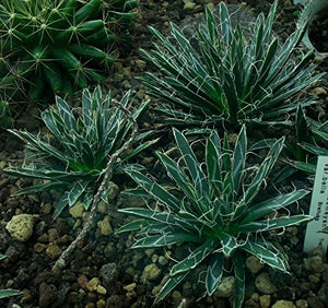 10 Seeds Agave toumeyana var. bella Air purification Plant #Agave