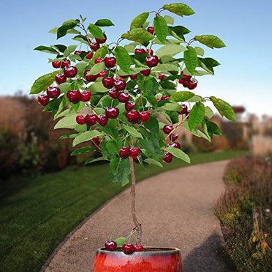 10 Seeds Dwarf Cherry Tree Self-Fertile Fruit Tree Indoor/Outdoor #Fruit