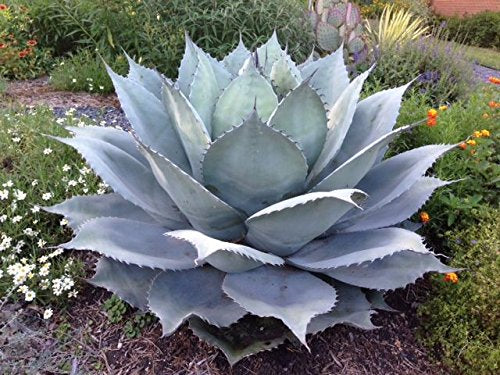 Agave ovatifolia (Whale's Tongue Agave) 25 Seeds #Succulent