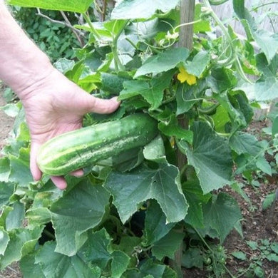 25 Seeds Garden Cucumber Plant (Cucumis sativus Spacemaster) Garden #Vegetable