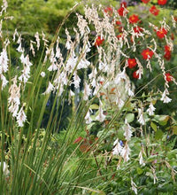 Load image into Gallery viewer, Dierama argyreum Angel's Fishing Rod Plant 25 Seeds #Ornamental