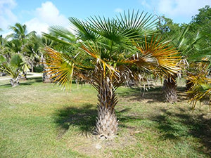 Copernicia Tectorum Wax Palm From Venezuela 10 Seeds #House Plant