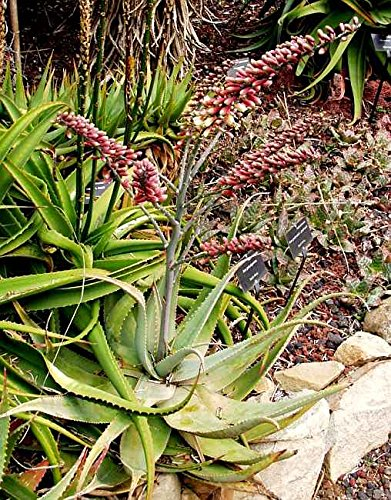10 Seeds Aloe globuligemma Button Plant #Aloe