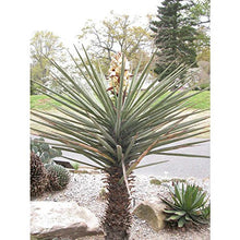 Load image into Gallery viewer, 10 Seeds Yucca torreyi Spanish Dagger Plant #Succulent