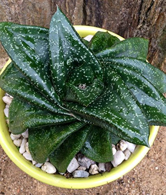 10 Seeds Gasteria nitida var. armstrongii Air Purification Plant #Succulent