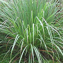 Load image into Gallery viewer, Cymbopogon Flexuosus Mosquito Repelling Lemon Grass Plant 100 Seeds #Ornamental