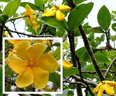 Gardenia sootepensis Golden Gardenia 10 Seeds #Tree