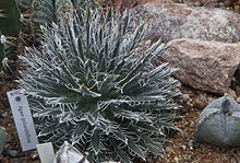 Load image into Gallery viewer, 10 Seeds Agave polianthiflora Mescalito Ornamental Plant #Agave
