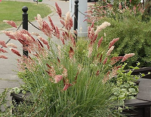 Melinis nerviglumis Ruby Grass Flowering Plant 25 Seeds #Ornamental