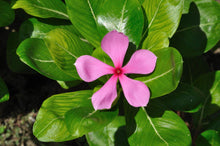 Load image into Gallery viewer, Catharanthus roseus Madagascar Periwinkle 50 Seeds #Ornamental
