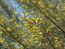 Load image into Gallery viewer, 10 Seeds Acacia aneura Mulga Wattle Small Tree #Ornamental