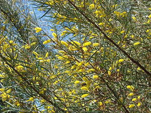 10 Seeds Acacia aneura Mulga Wattle Small Tree #Ornamental