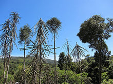 Load image into Gallery viewer, 10 Seeds Pseudopanax ferox Toothed Lancewood Tree #Ornamental