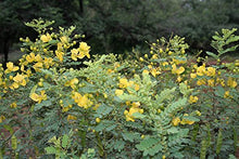 Load image into Gallery viewer, Senna auriculata Avaram Cassia Tree 15 Seeds #Ornamental