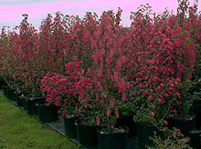 Load image into Gallery viewer, Ribes Sanguineum Red-flowering Currant Flowering Bush 25 Seeds #Ornamental