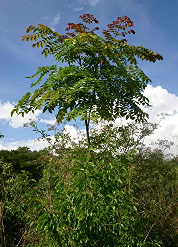 10 Seeds Acrocarpus fraxinifolius Shingle Tree, Indian Ash #Tree