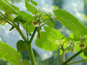 50 Seeds Tomatillo Plant - Physalis philadelphica #Vegetable