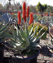 Load image into Gallery viewer, 10 Seeds Aloe africana Ngopanie Aloe Air Purification Plant #Aloe