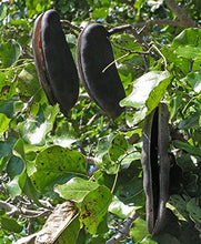Load image into Gallery viewer, Afzelia quanzensis Pod-Mahogany #Tree (SEEDS)