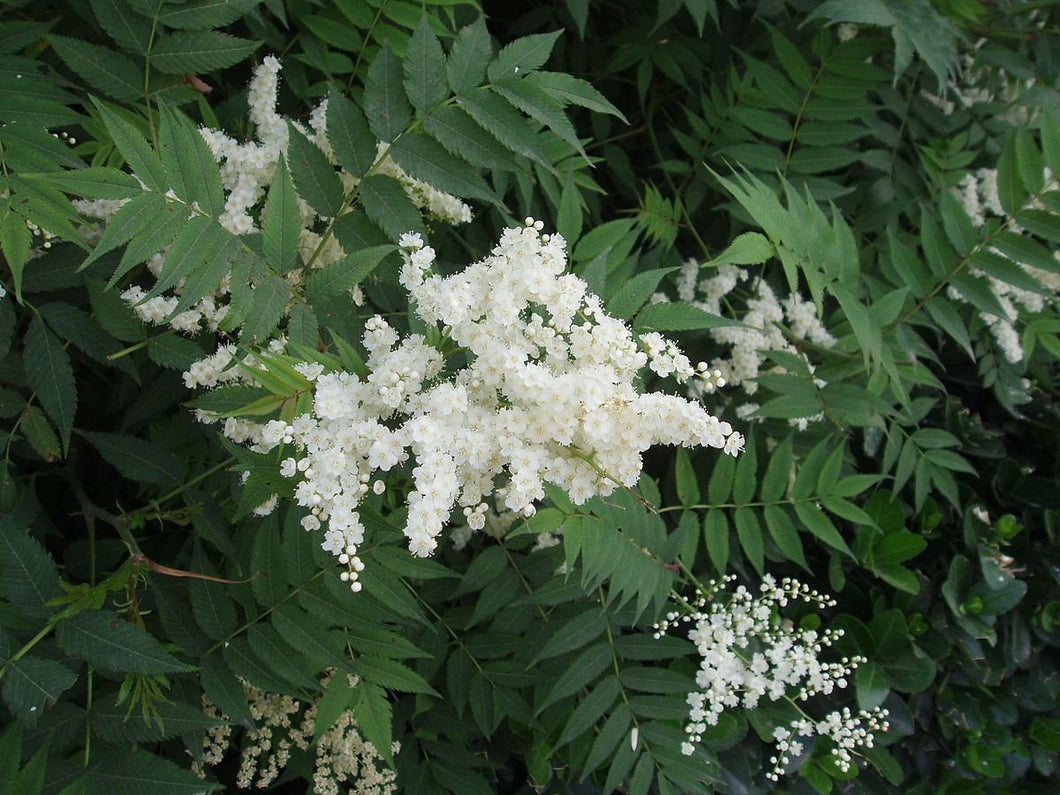 Sorbaria sorbifolia False Spirea Shrub 50 Seeds #Ornamental