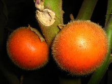 Load image into Gallery viewer, 10 Seeds Solanum sessiliflorum Cocona Fruit Plant #Fruit